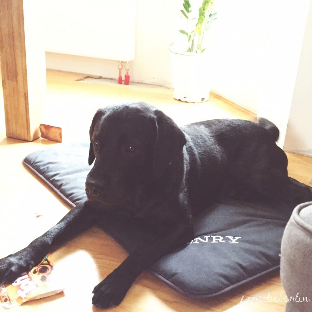 Hund_Labrador_Decke